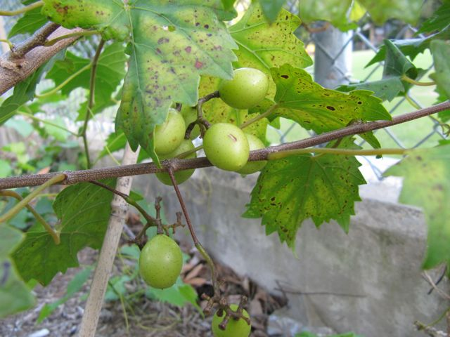 how to grow muscadine grapes